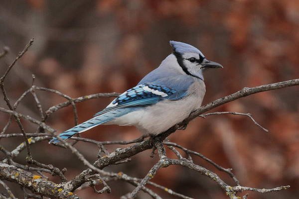 Photograph - Blue Jay 5967 by John Moyer