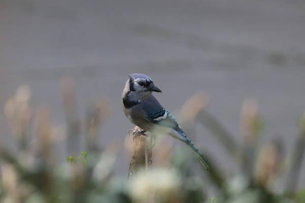 Photograph - Blue Jay 7002 by John Moyer