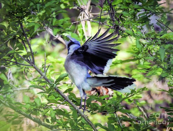 Photograph - Blue Jay Ballet by Kerri Farley