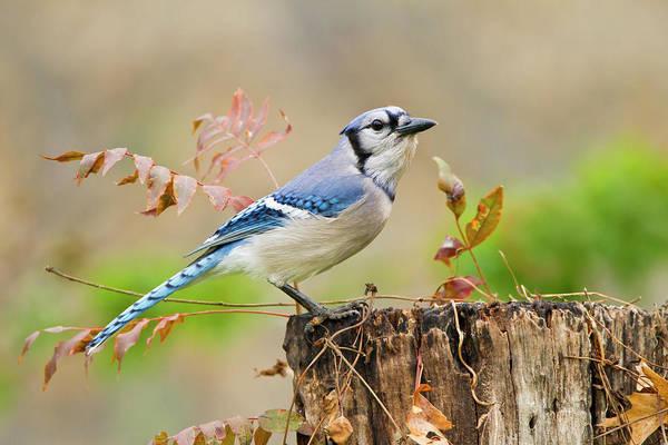 Blue Photograph - Blue Jay Cyanocitta Cristata Adult by Danita Delimont