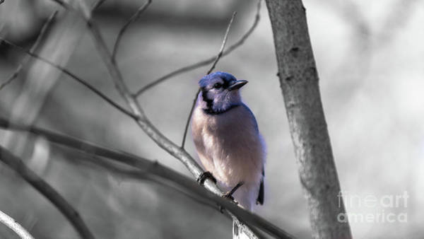 Photograph - Blue Jay by Dheeraj Mutha
