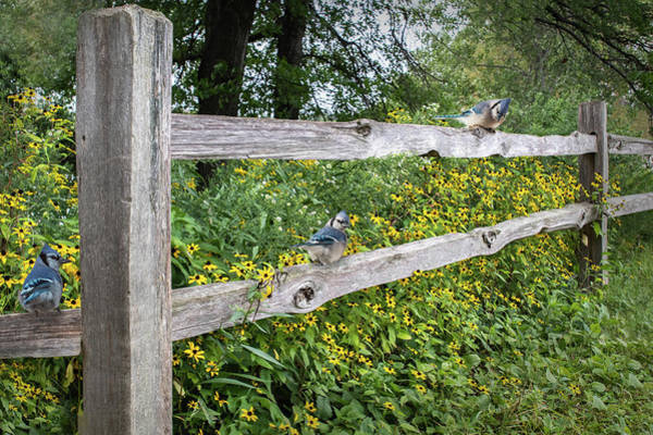 Photograph - Blue Jay Fence And Wildflowers by Patti Deters
