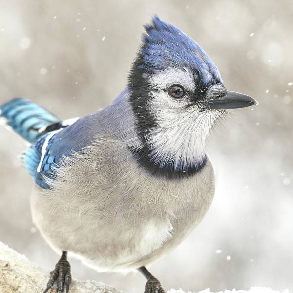 Photograph - Blue Jay In A Snow Storm by Jim Hughes