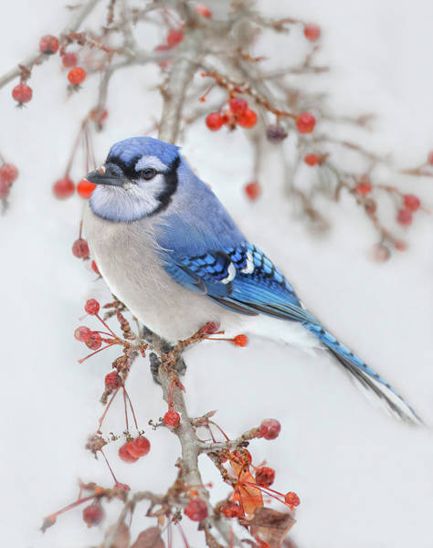 Blue Photograph - Blue Jay In Wild Apple Tree by Betty Wiley