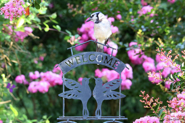Photograph - Blue Jay Is Welcome In The Summertime by Trina Ansel