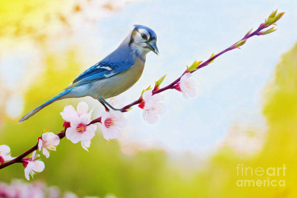 North American Wildlife Wall Art - Photograph - Blue Jay On Cherry Tree by Laura D Young