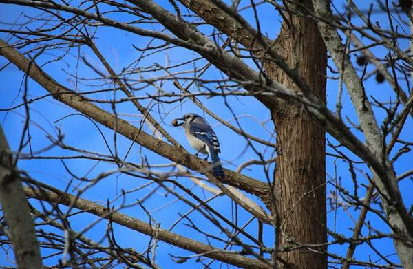 Photograph - Blue Jay With Acorn by Cynthia Guinn