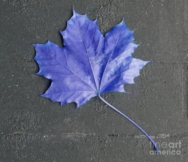 Photograph - Blue Leaf by Christopher Shellhammer