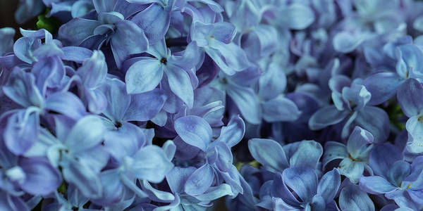 Photograph - Blue Lilacs by Mark Shoolery