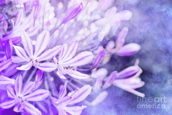 Agapanthus Photograph - Blue Lily Of The Nile by Delphimages Photo Creations