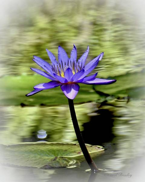 Wall Art - Photograph - Blue Lotus Flower by Carol Bradley