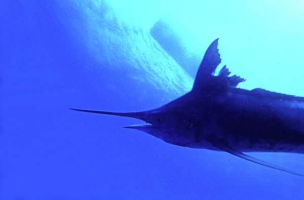 British Virgin Islands Photograph - Blue Malin Fishing by Armando F. Jenik