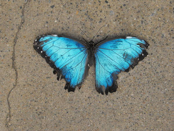 Butterfly Photograph - Blue Morpho Butterfly by Dominic Labbe