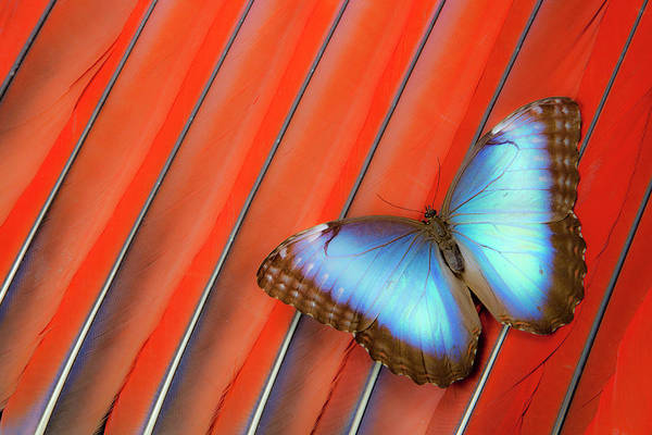 Butterfly Photograph - Blue Morpho Butterfly Scarlet Macaw by Darrell Gulin