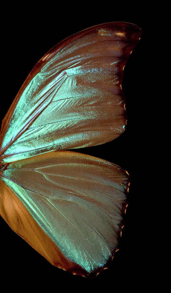 Butterfly Photograph - Blue Morpho Butterfly Wing by Jcarroll-images