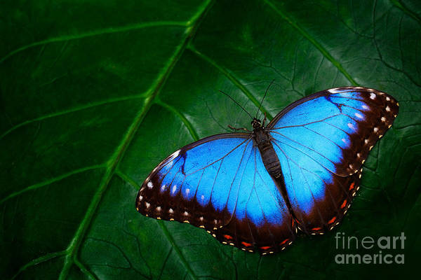 Beautiful Butterfly Photograph - Blue Morpho, Morpho Peleides, Big by Ondrej Prosicky