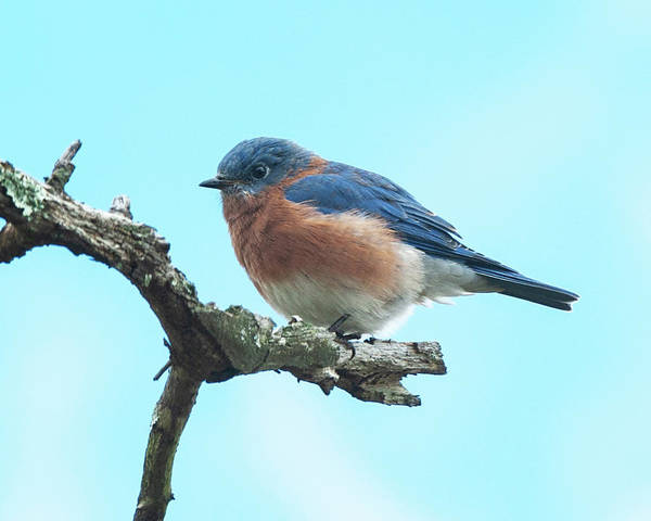 Photograph - Blue On Blue Eastern Bluebird by Lara Ellis