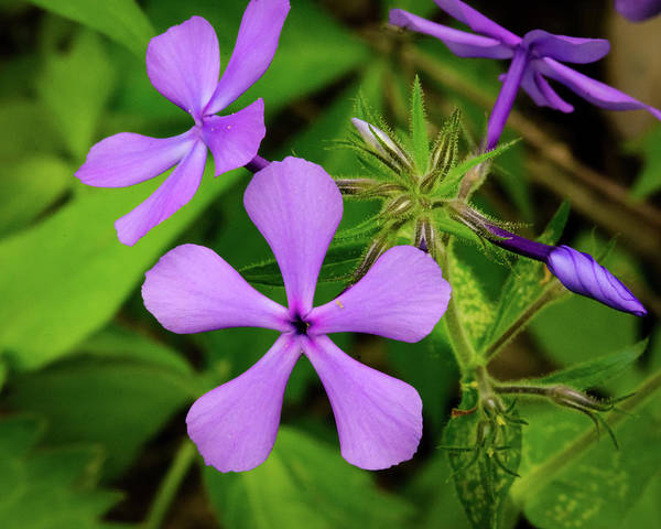 Photograph - Blue Phlox by Jeff Phillippi