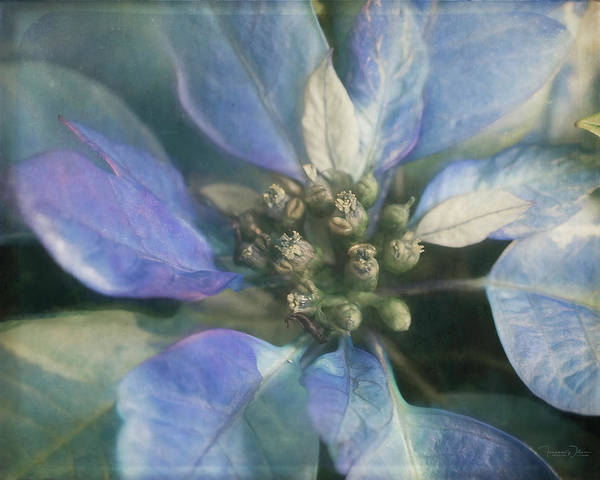Photograph - Blue Poinsettia By Tl Wilson Photography  by Teresa Wilson