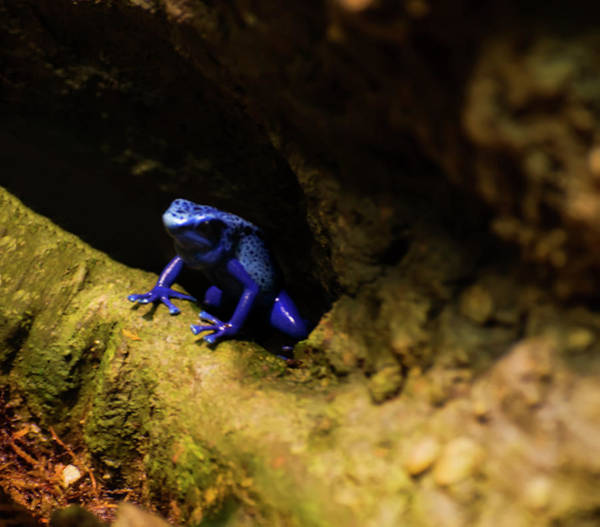 Photograph - Blue Poison Dart Frog by Chris Flees