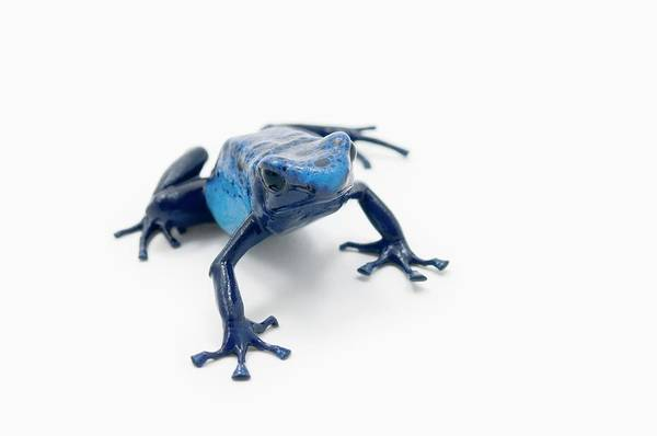 Poison Dart Frog Photograph - Blue Poison Dart Frog Dendrobates by Design Pics / Corey Hochachka