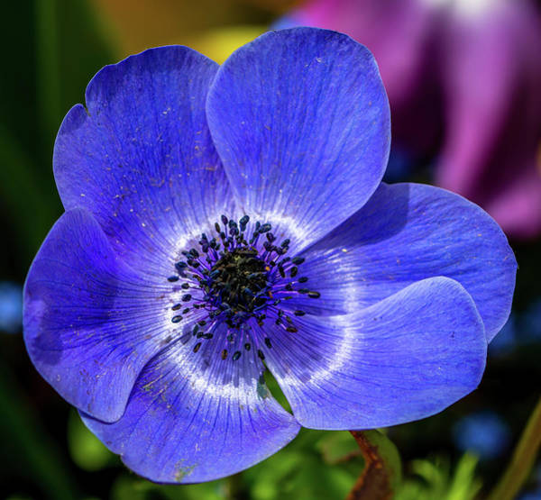 Photograph - Blue Poppy by Susie Weaver