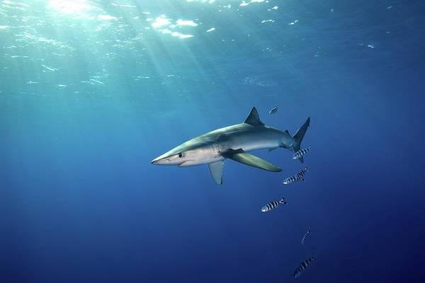 Azores Photograph - Blue Shark by James R.d. Scott
