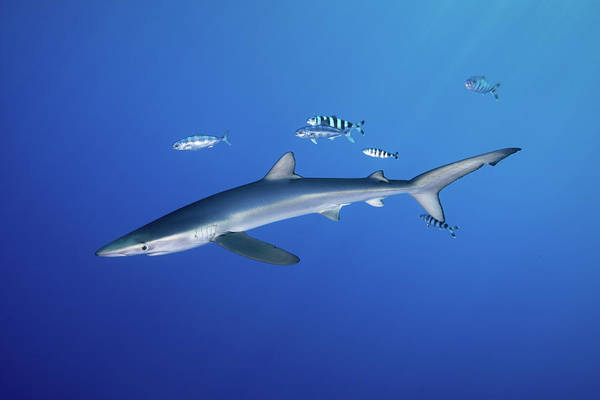 Azores Photograph - Blue Shark With Pilot Fishes by Gerard Soury