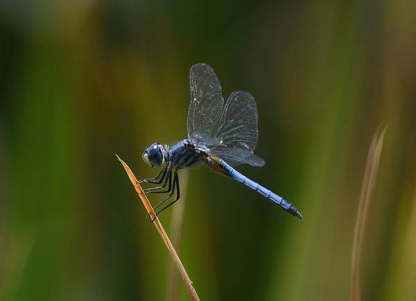 Photograph - Blue Skimmer Dragonfly by Fraida Gutovich