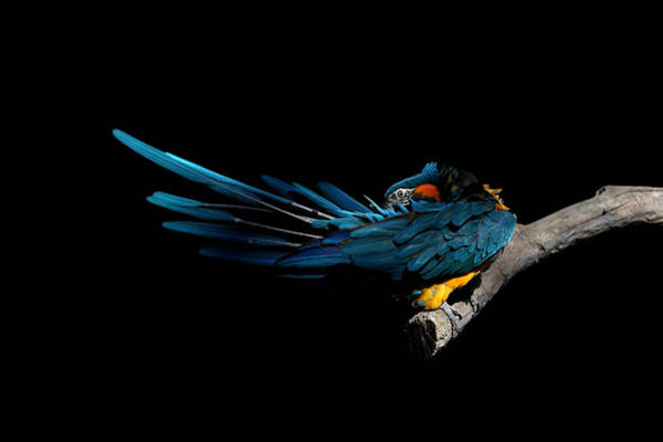 Macaw Photograph - Blue-throated Macaw Preening by © Debi Dalio