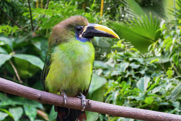 Photograph - Blue-throated Toucanet by Arterra Picture Library