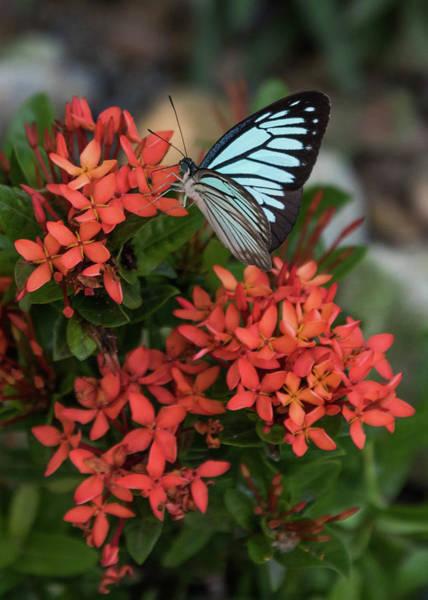 Wall Art - Photograph - Blue Tiger Butterfly On Lxora Coccinea by Tran Boelsterli