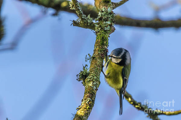 Photograph - Blue Tit 01 by Brian Roscorla