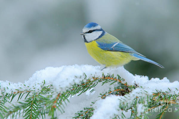Forest Bird Photograph - Blue Tit, Cute Blue And Yellow Songbird by Ondrej Prosicky