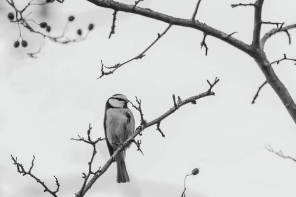 Photograph - Blue Tit Monochrome by Scott Lyons