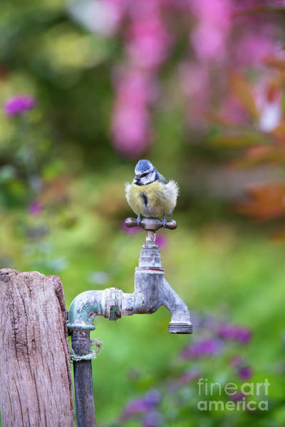 Wall Art - Photograph - Blue Tit On An Old Garden Tap by Tim Gainey