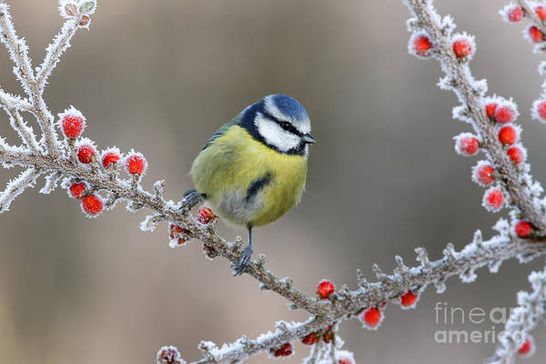 Wall Art - Photograph - Blue Tit Parus Caeruleus, On Berries In by Erni