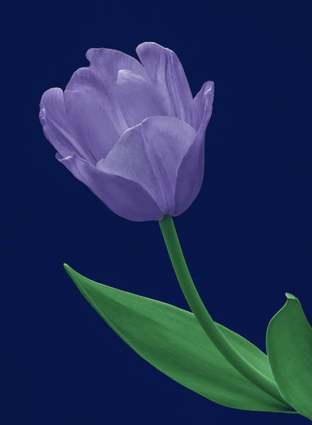 Photograph - Blue Tulip by Russell Illig