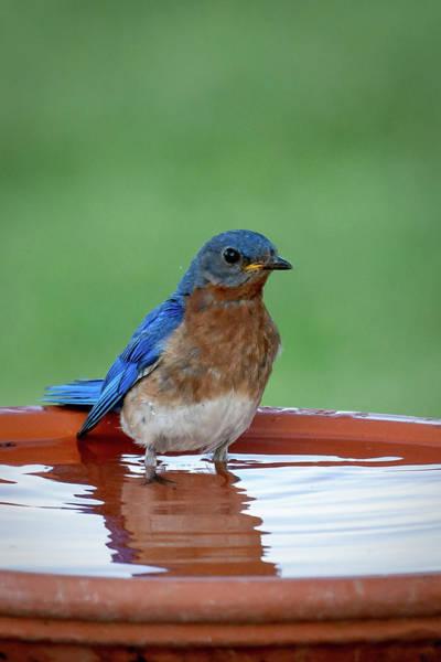 Photograph - Blue Wader by David Heilman