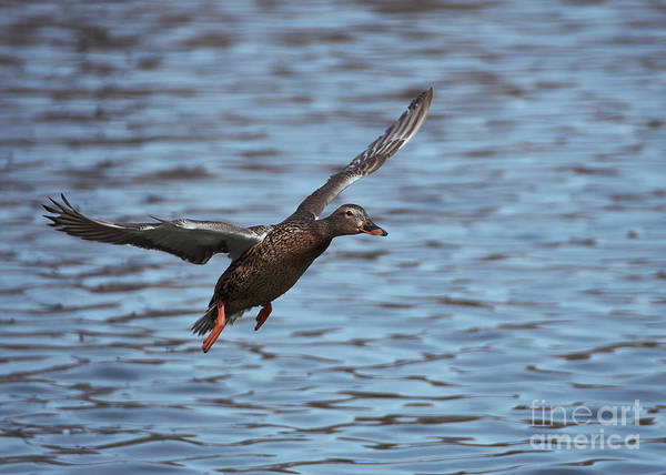 Photograph - Blue Water Duck by Robert WK Clark