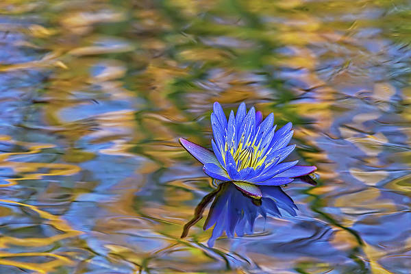 Photograph - Blue Waterlily by Kay Brewer