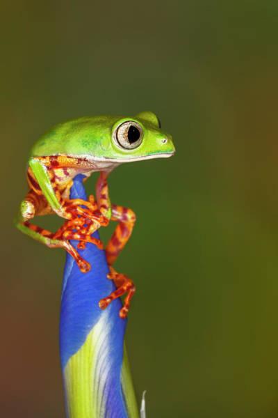 Wall Art - Photograph - Blue-webbed Gliding Tree Frog On Iris by Adam Jones