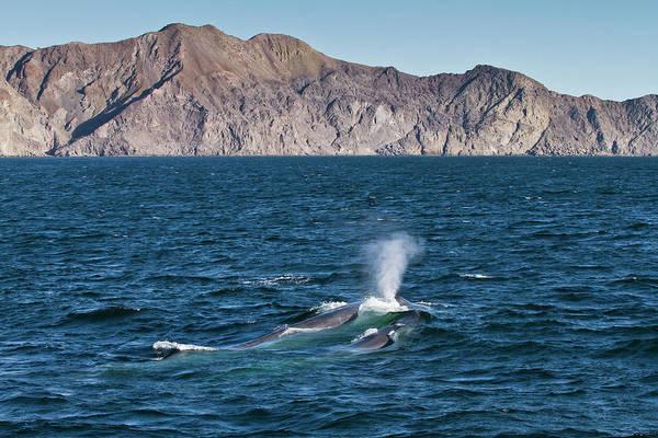 Blue Photograph - Blue Whale Cow Balaenoptera Musculus by Michael Nolan / Robertharding