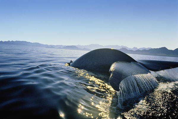 Blue Photograph - Blue Whale Tail Emerging From Sea, Sun by David E Myers