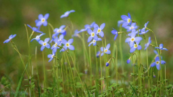 Photograph - Blue Wild Flowers Bluets by Mike Koenig