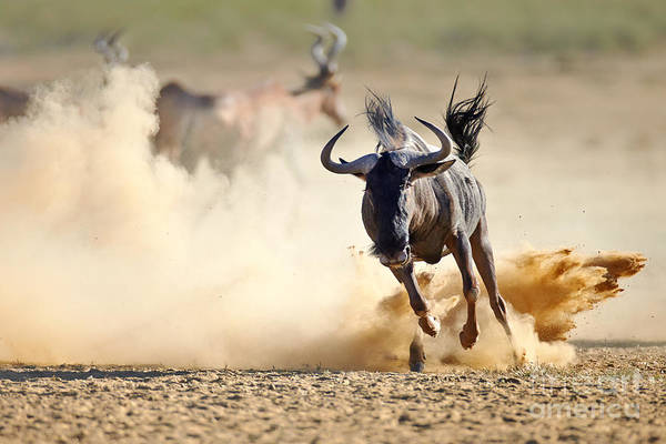 Wall Art - Photograph - Blue Wildebeest Running On Dusty Plains by Mari Swanepoel