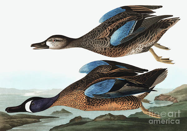 Wall Art - Painting - Blue Winged Teal, Anas Discors By Audubon by John James Audubon