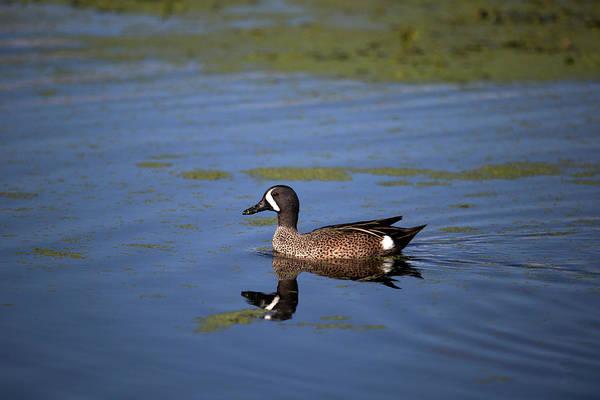 Photograph - Blue Winged Teal by Kevin Banker