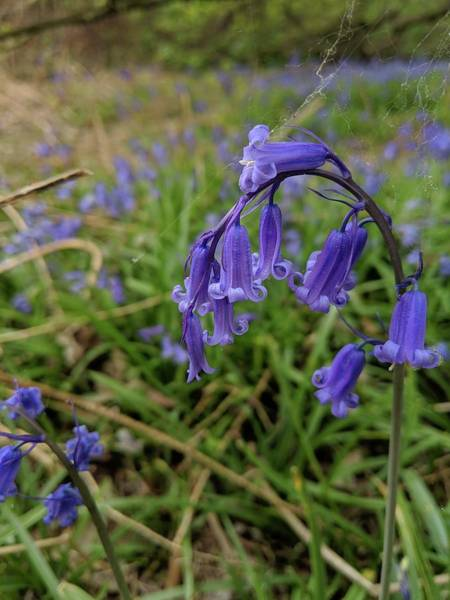 Photograph - Bluebell by Abbie Shores
