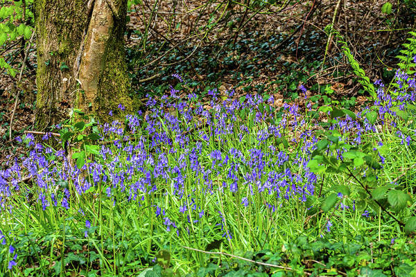 Photograph - Bluebell Copse 1 by Steve Purnell